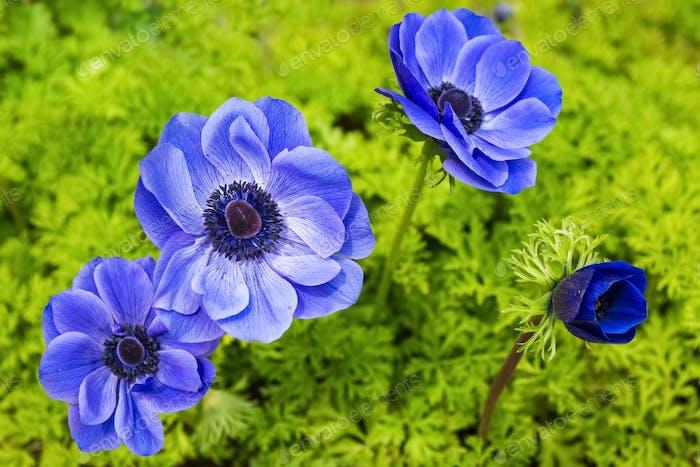 blaue Anemone Blume