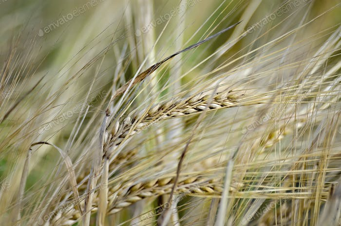 Bread spikelets on the field