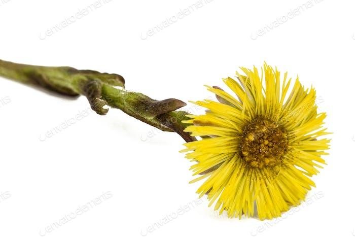 Gelbe Blume von Huflattich, lat. Tussilago farfara, isoliert auf