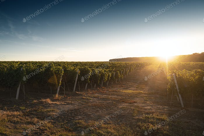 vineyard road in the morning light