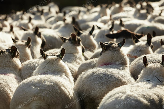 A flock of sheep with broad backs and thick fleeces, herded together.