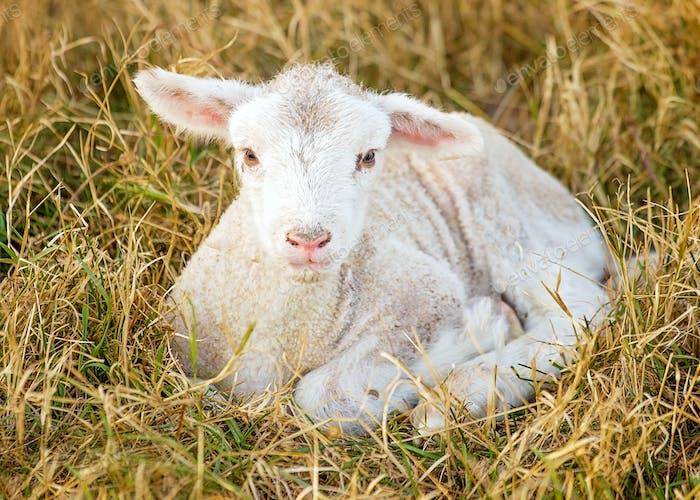 Tag altes Lamm