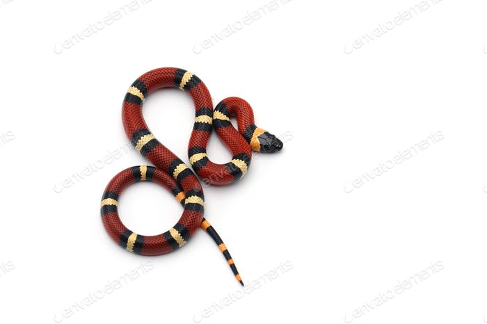 Red-black Milk snake isolated on white background