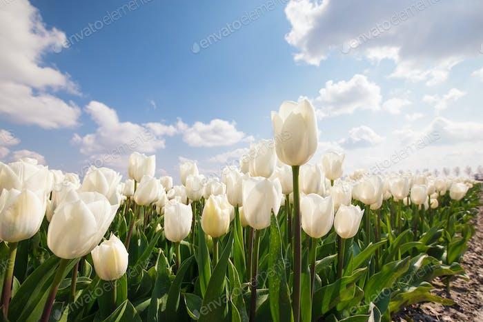 weißen Tulpenfeld und d blauen Himmel