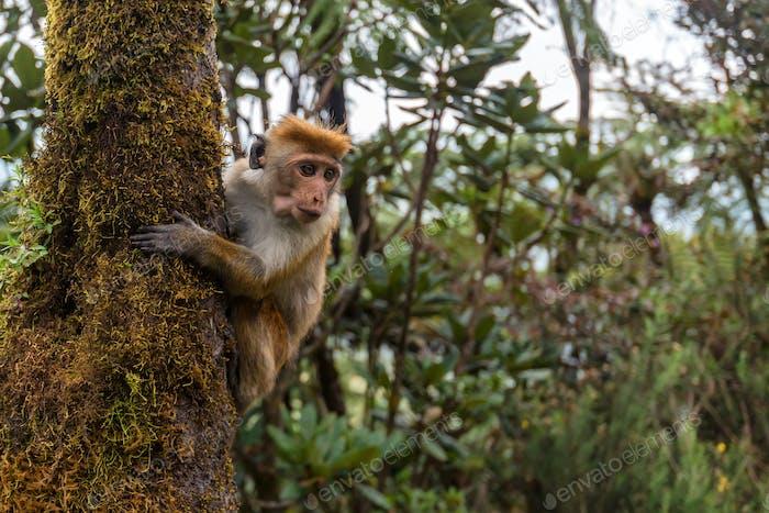 Srilankan toque macaque or Macaca sinica in jungle