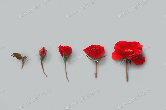 Fünf rote Rosen auf grauem Hintergrund