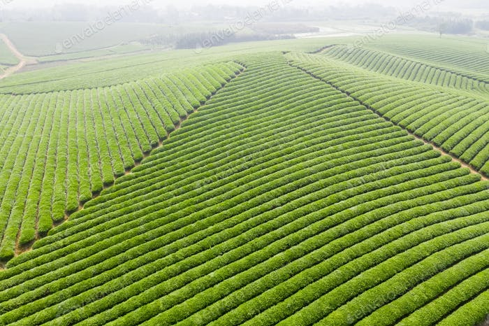 aerial view of tea plantation