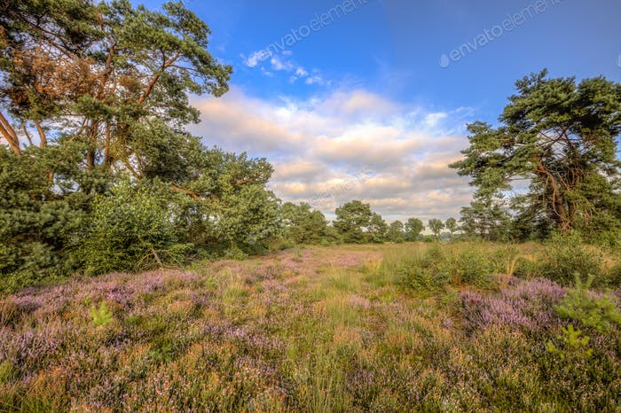 Heathland in nature reserve Stroothuizen