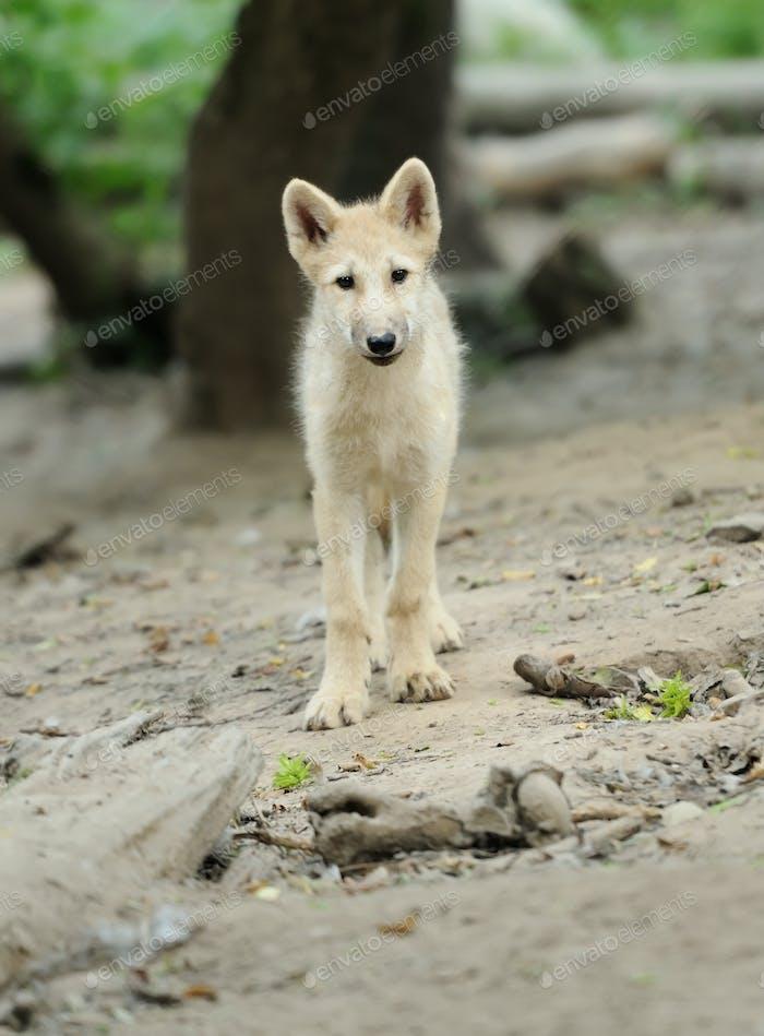 Arktischer Wolfs-Hulpe