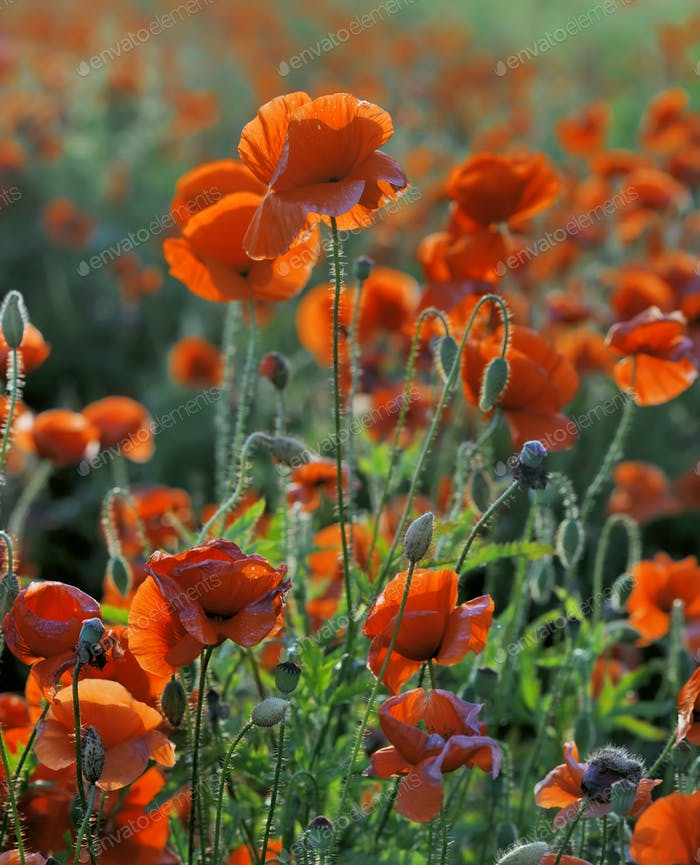 Red corn poppy flowers in summer