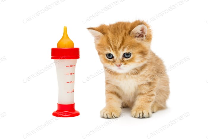 Small British kitten and bottle of milk