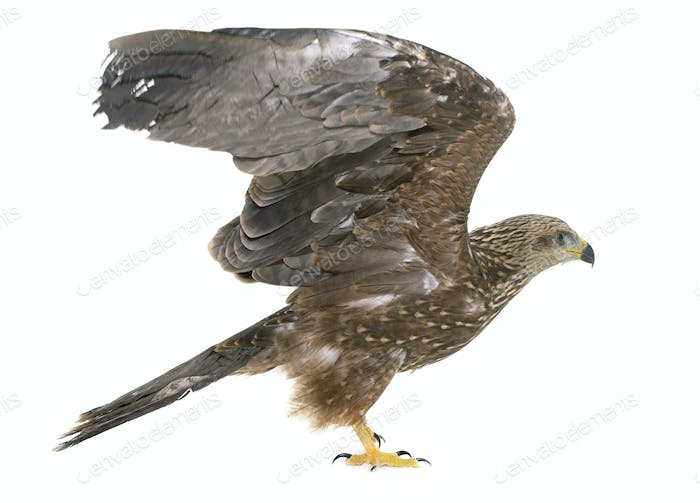 Common buzzard in studio