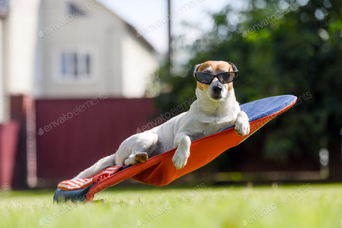 Jack russel terrier dog lies on a deck-chair