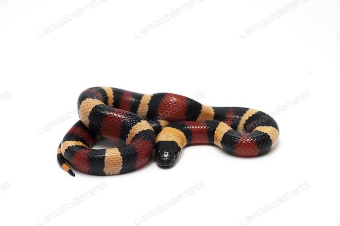 Red-black Milk snake isolated on white background