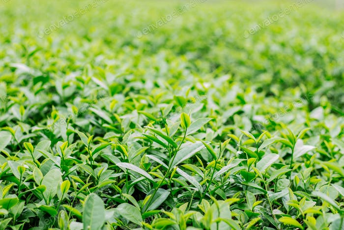 Green tea on natural background