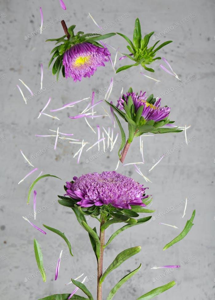 Lila Chrysantheme Blumen