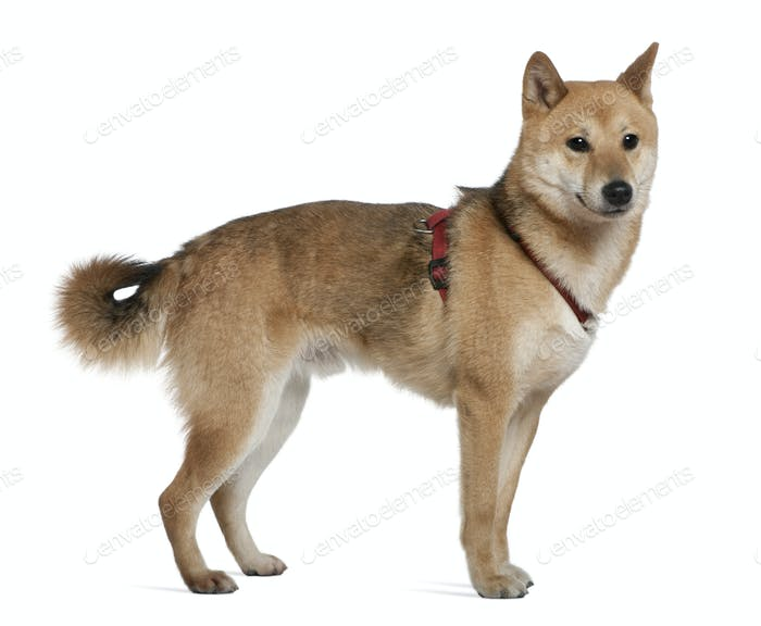 Shiba inu, 2 years old, standing in front of white background