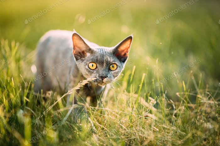 Funny Curious Young Gray Devon Rex Kitten Sneaks In Green Grass.