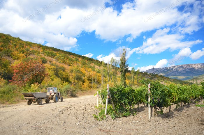Green vineyards in Crimea Ukraine with mountains at background