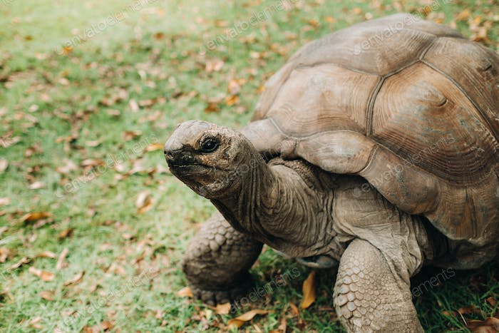 giant tortoises Dipsochelys gigantea in a tropical Park on the island of Mauritius in the Indian
