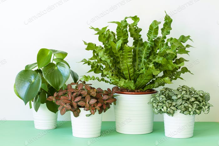houseplants Asplenium nidus, peperomia and fittonia in flowerpot