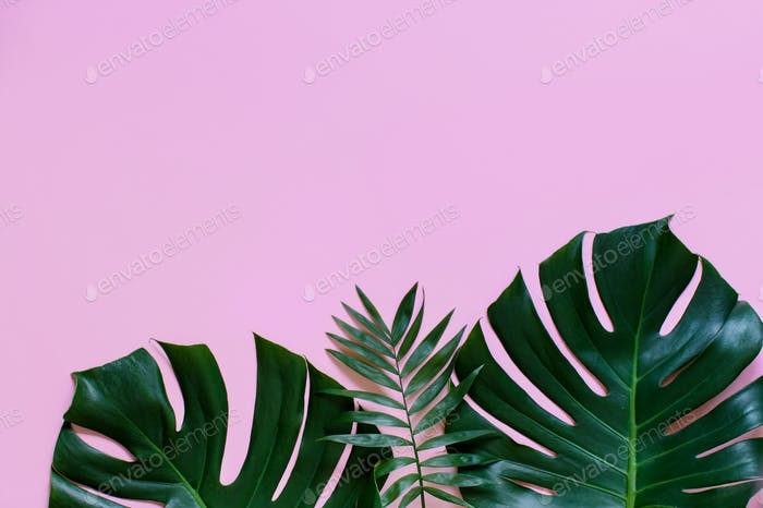 Tropical background with Monstera leaves on a light pink background