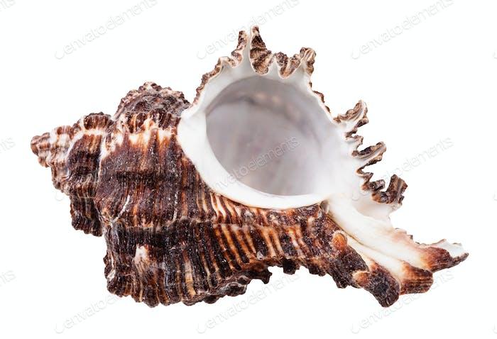 empty dark brown seashell of mollusk isolated