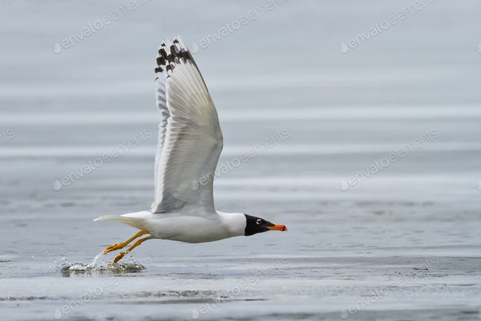 black headed gull (larus ridibundus) in flight