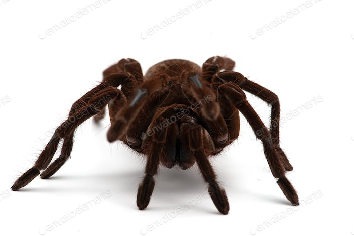 Birdeating Spider isolated on white background