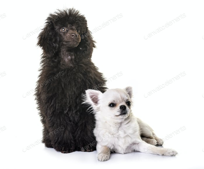 puppy brown poodle and chihuahua