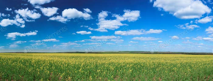 Field with oilseed rapeseed