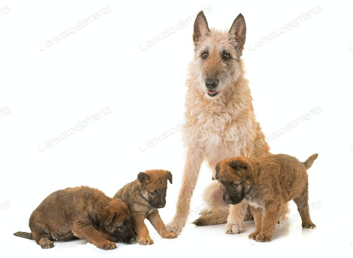 puppy and adult belgian shepherd dog laekenois
