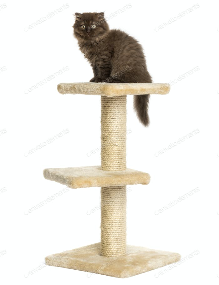 Highland fold kitten sitting on top of a cat tree, isolated on white