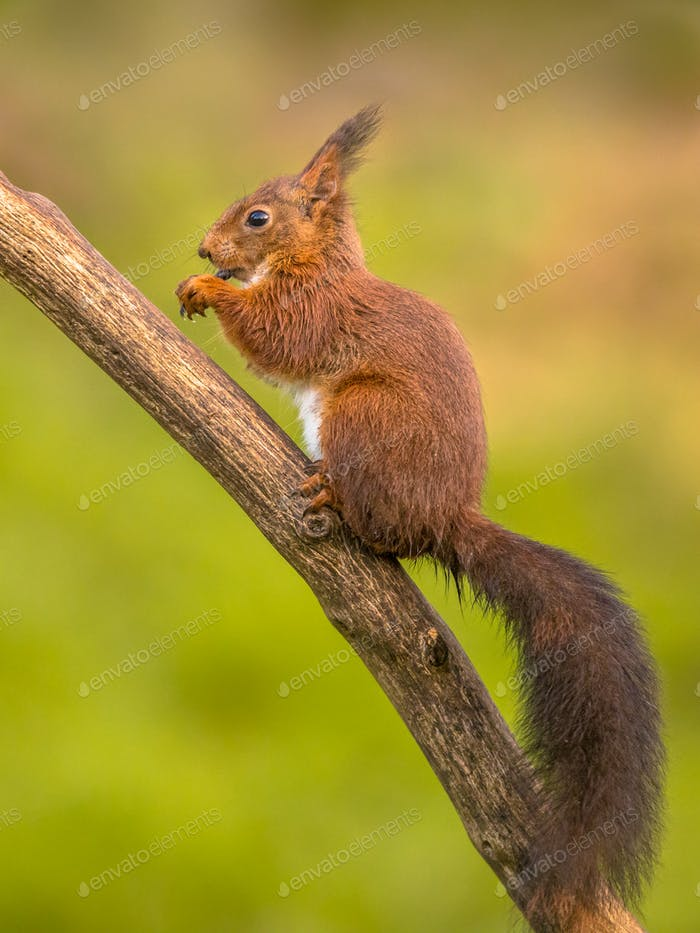 Red squirrel eating on branch