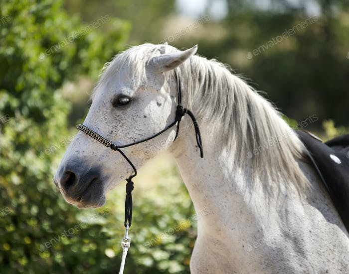 white horse and halter