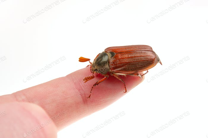 Cockchafer (Melolontha melolontha) on a white background