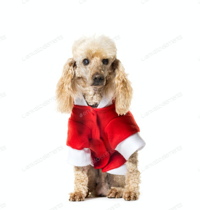 Sitting Poodle dog wearing a santa claus dog coat, cut out