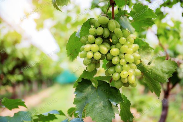 White grapes on tree