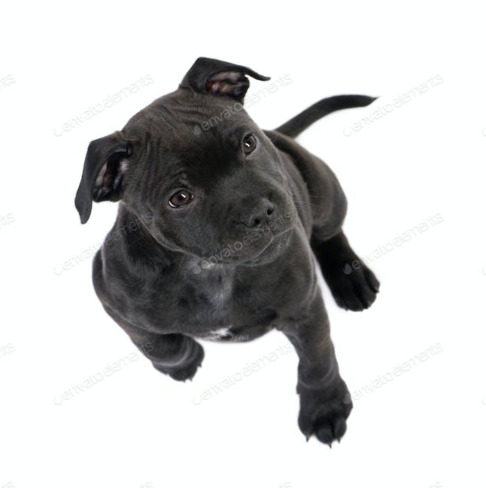Staffordshire Bull Terrier puppy (2 months)