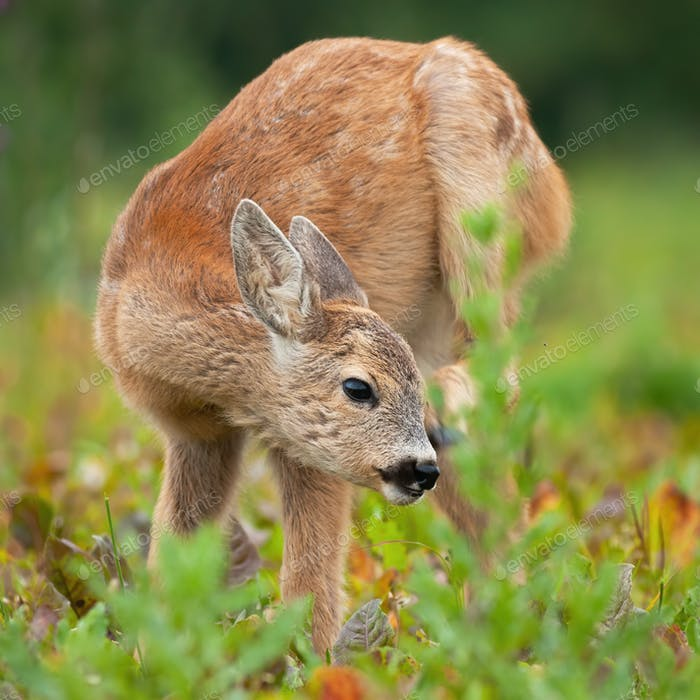 Young roe deer fawn scratching ear on meadow in summer