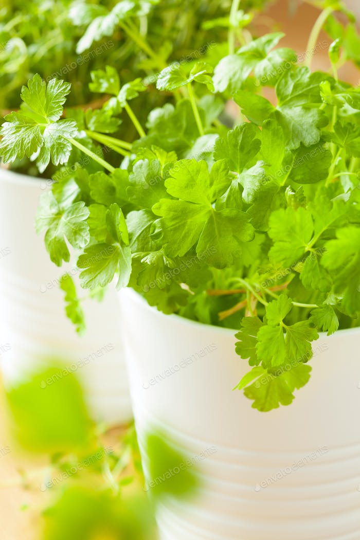 fresh parsley and thyme herbs in white pots