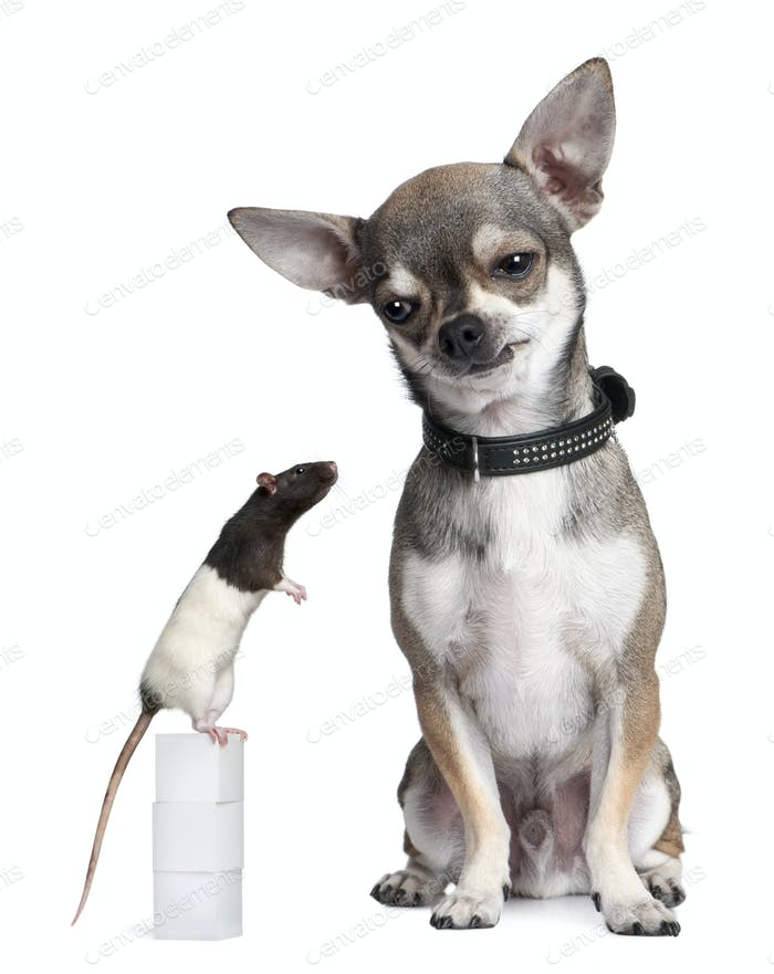 Chihuahua and a rat sitting against white background