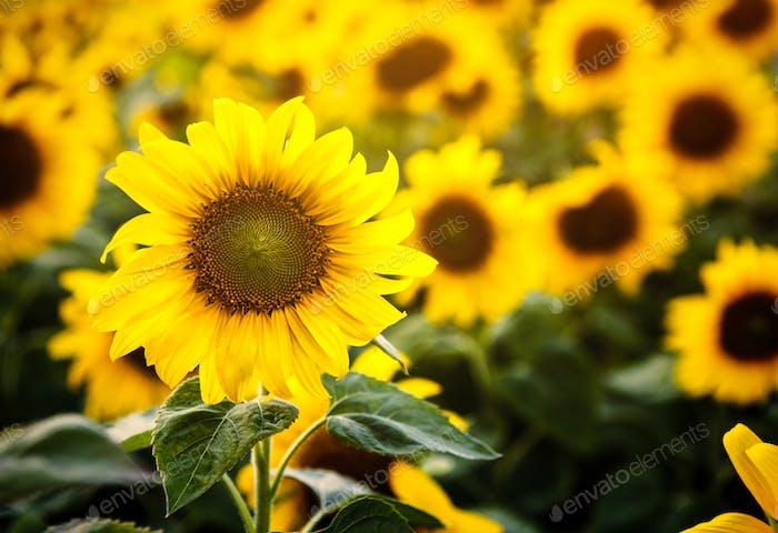 Schöne Blüte Sonnenblumen auf dem Feld