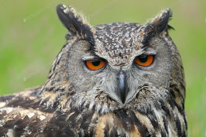 Eurasische Adlereule