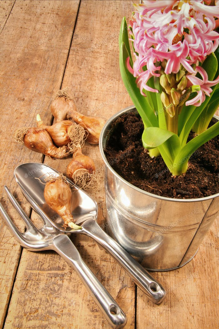 Hyacinth flowers and bulbs on wood table