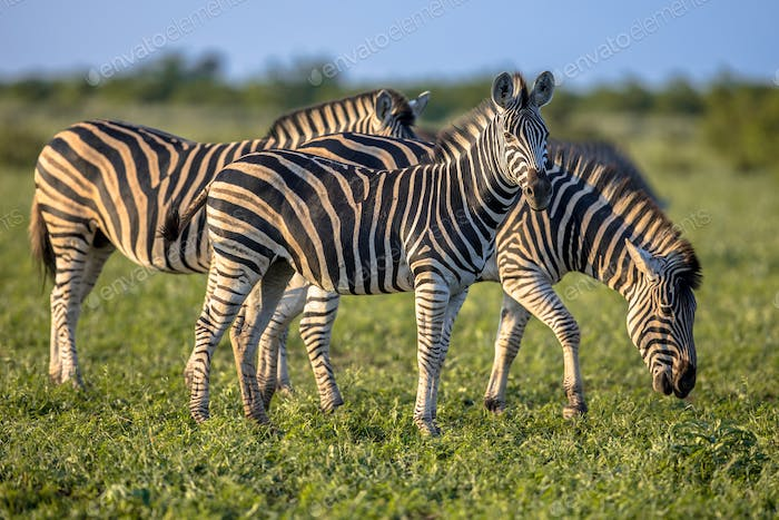 Three Common Zebras foraging on savanna