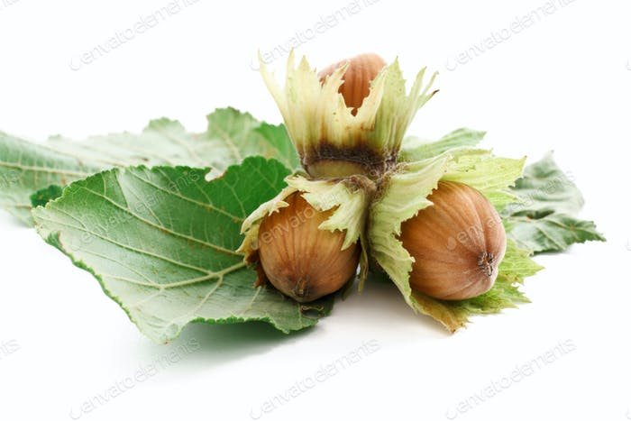 branch of hazelnuts
