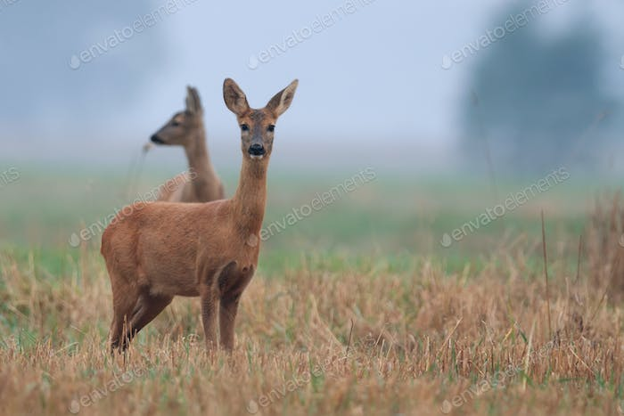 Roe-deers in the meadow