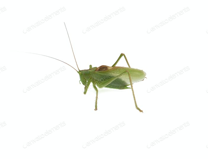 a locust isolated