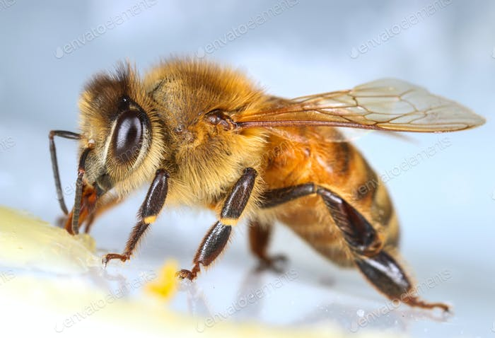 Honeybee eating sweet